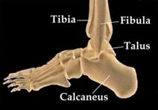 Ligamentoplastie de cheville : Les surfaces de glissement sont recouvertes de cartilage